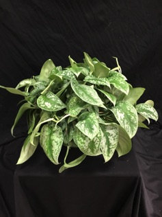 "8"" Philodendron Satin"